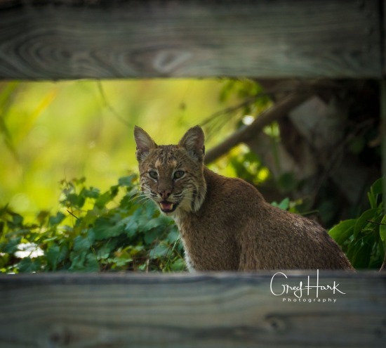 Bobcat, Loxahatchee National Wildlife Refuge??