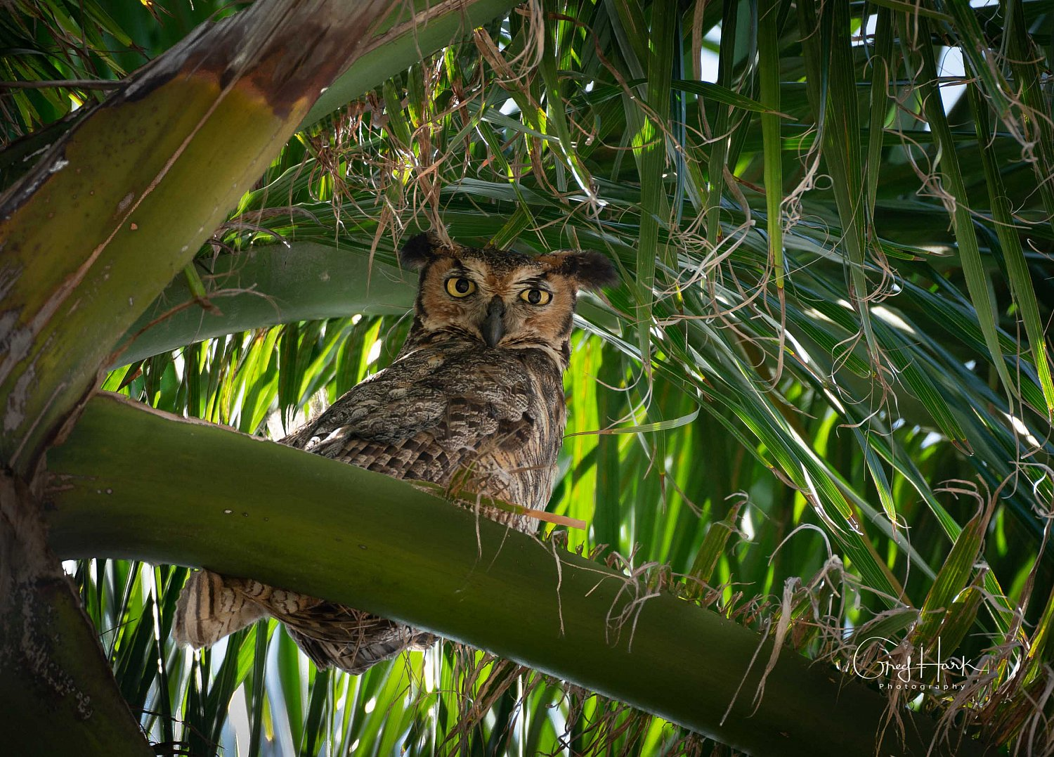 Great Horn Owl Birds,Everglades,Owl,